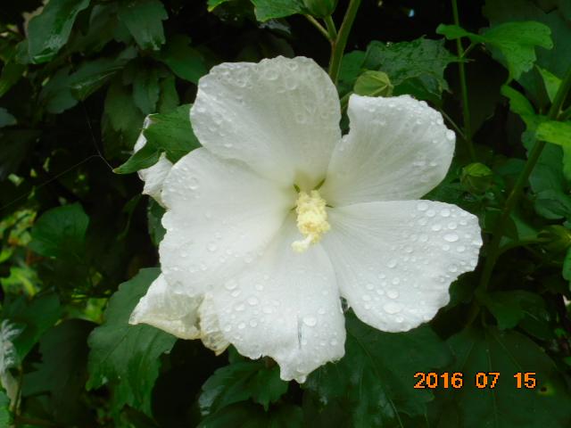 ハイビスカスも咲いてました、こちらもキレイだ