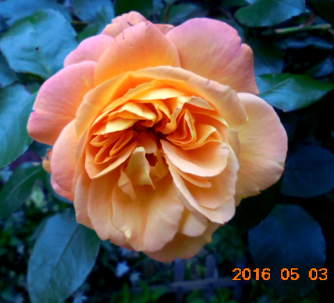 近くに咲いてたバラです、見事ですね、(人´∀`).☆.。.:*・゚🌹