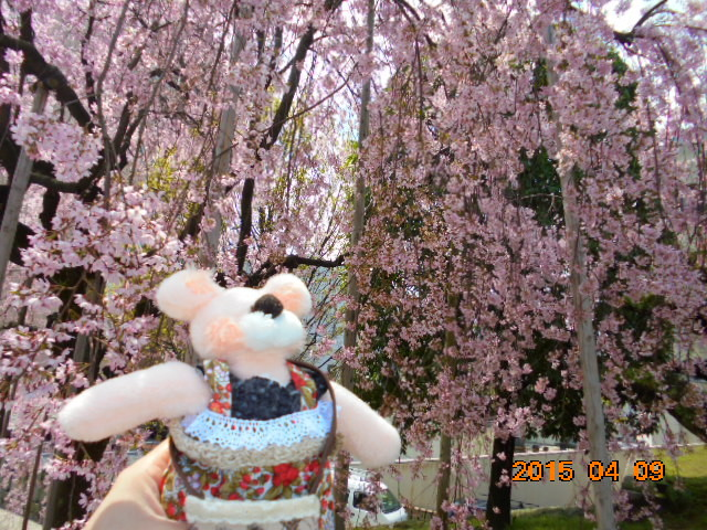 🌸去年の桜です、綺麗ですね〜っ。。。