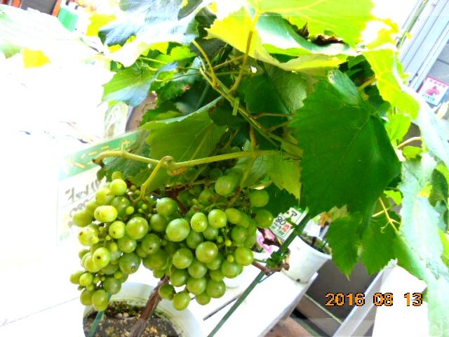 *園芸店に葡萄がなってました、自宅で自給自足って憧れますね。
