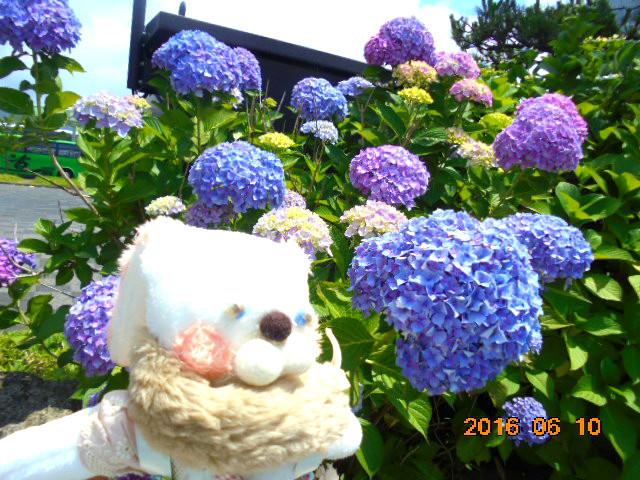 うちは紫陽花好きな一家です。