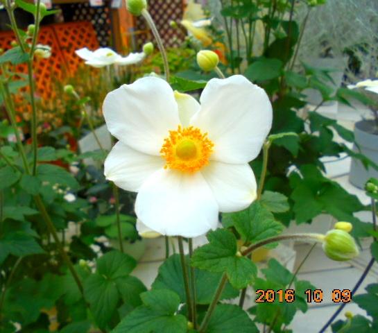 きれいなお花です、名前はわすれましたが。。。確か菊の仲間だったような
