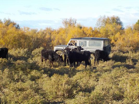 safari au milieu des taureaux Camargue entre Aigues-Mortes et les Saintes maries de la mer