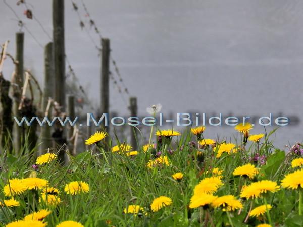 Löwenzahnblüten im Weinberg