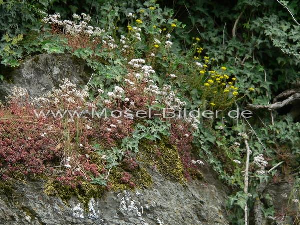 Weißer und gelber Mauerpfeffer auf Schieferfels