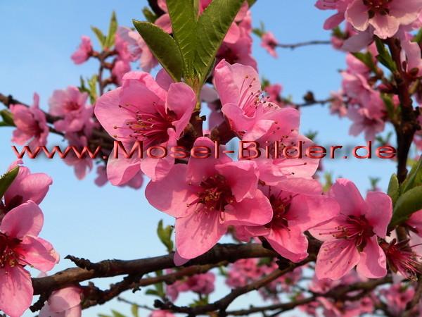 Pfirsichbüten