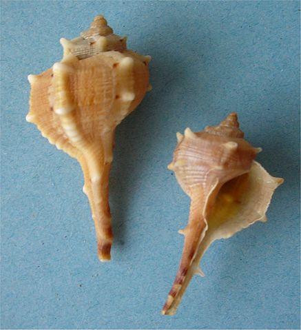 Coquilles de murex. Crédit : Wikimedia Commons