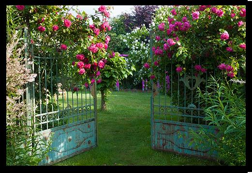 Rosenblüte im Baroch Garten in Künsche-Lüchow (Wendland)
