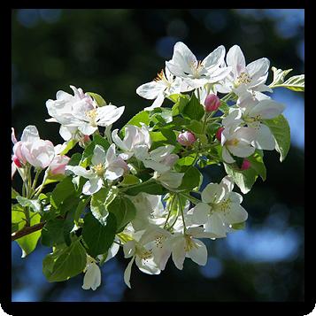 Apfelblüte im Garten (Foto: Irene63 on Pixabay)