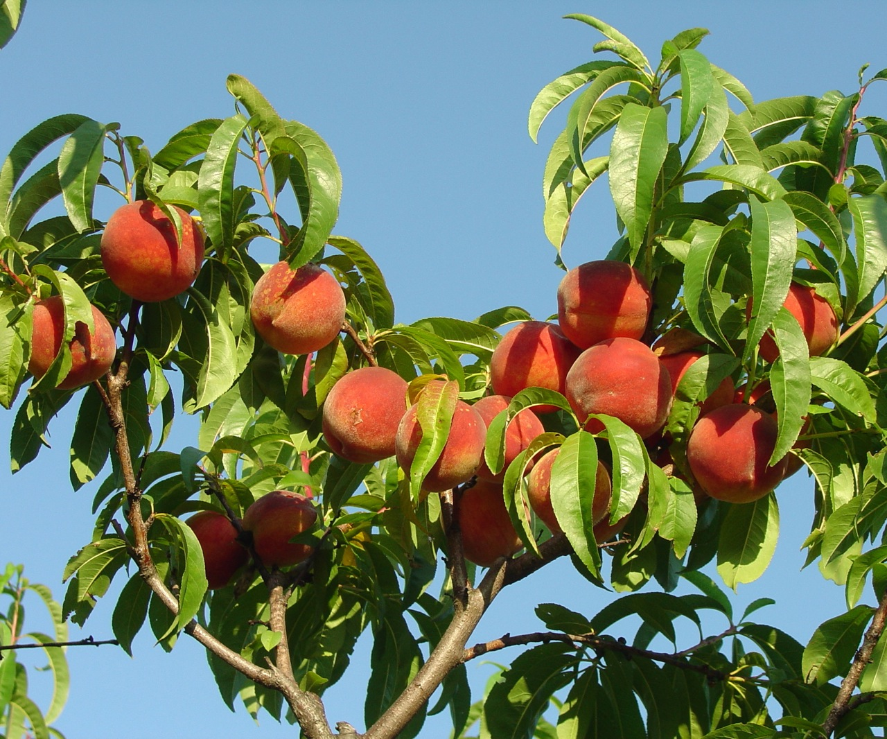 We have pick-your-own peaches, not ripe to pick until mid-August.