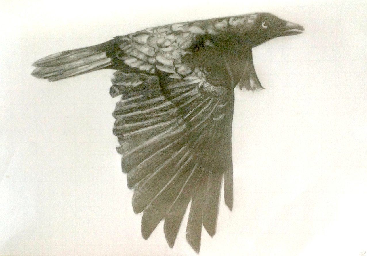 Chelsea Hunter 'crow' - pencil - 2016  30x40cm - sold $330