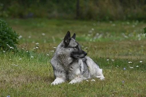 Das ist ein Norwegischer Elch Hund