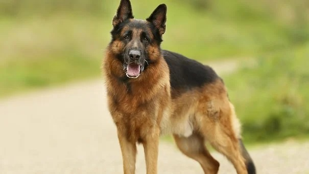 Das ist ein Deutscher Schäferhund