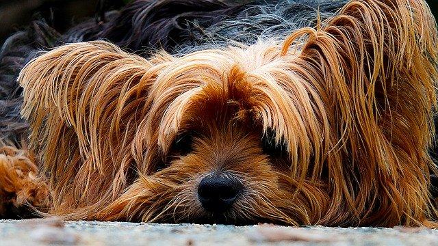Allergikerhunde, Yorkshire Terrier