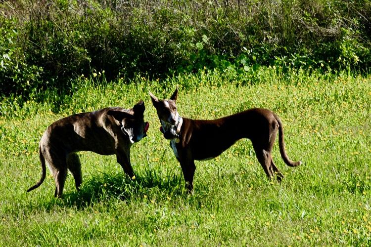 unsere Haushunde,  Podenco und Galagomix