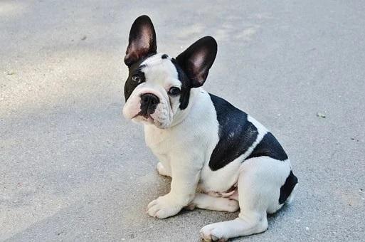 das ist eine  Bulldogge