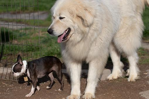Das ist ein Großer Pyrenäenhund