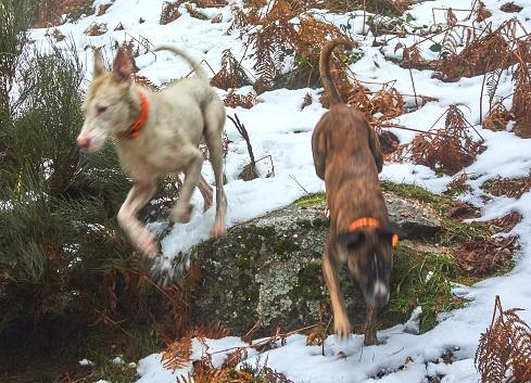 Podencos bei der Jagd