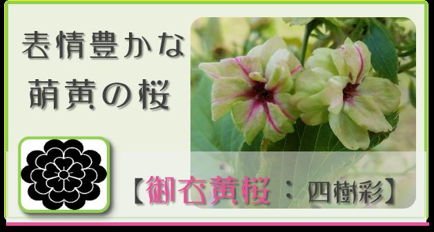 御衣黄桜【四樹彩】 @Base N 和×夢 nagomu farm