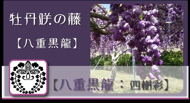 八重黒龍【四樹彩】 @Base N 和×夢 nagomu farm