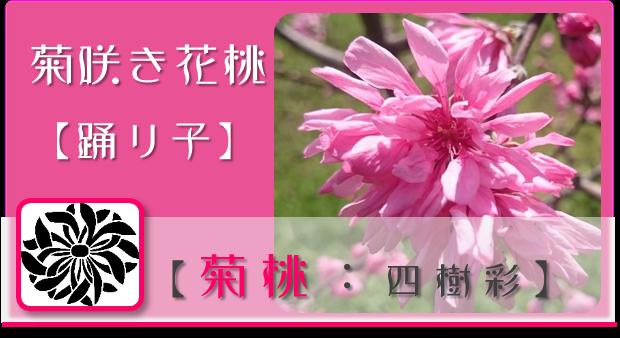 菊桃【四樹彩】 @Base N 和×夢 nagomu farm