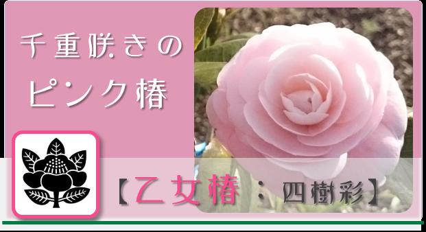 乙女椿【四樹彩】 @Base N 和×夢 nagomu farm