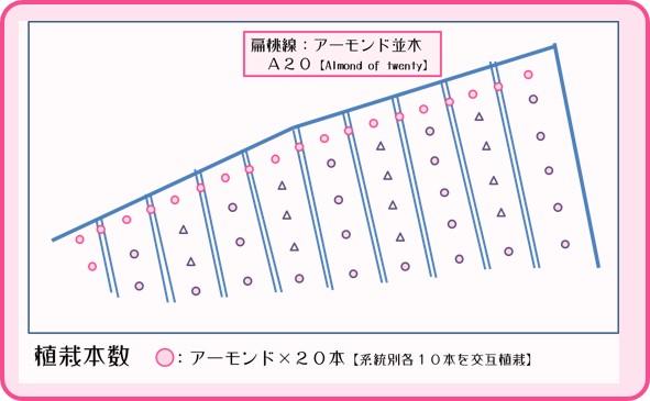 扁桃線【A20】 アーモンド並木 和×夢 nagomu farm
