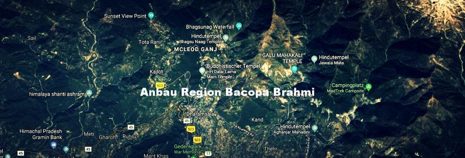 Frisch geerntet und importiert aus der Region Dharamsala (Nordindien)