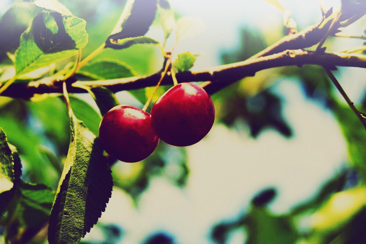 Acerola Kirsche vor der Ernte