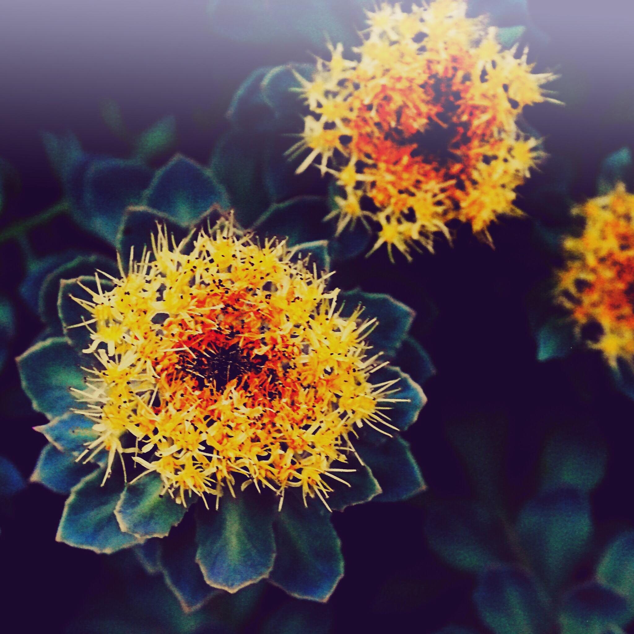 Rhodiola Rosea in voller Blüte III
