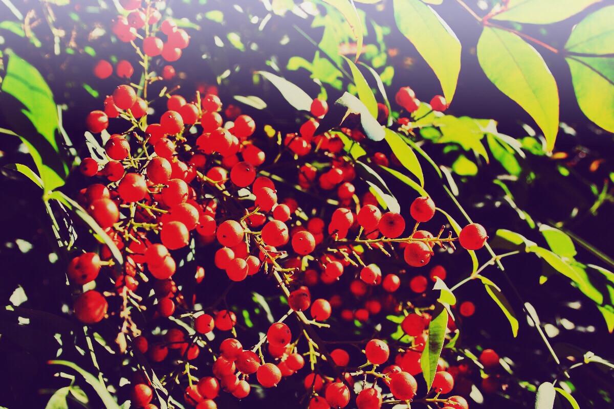 Schisandra Chinensis Beeren