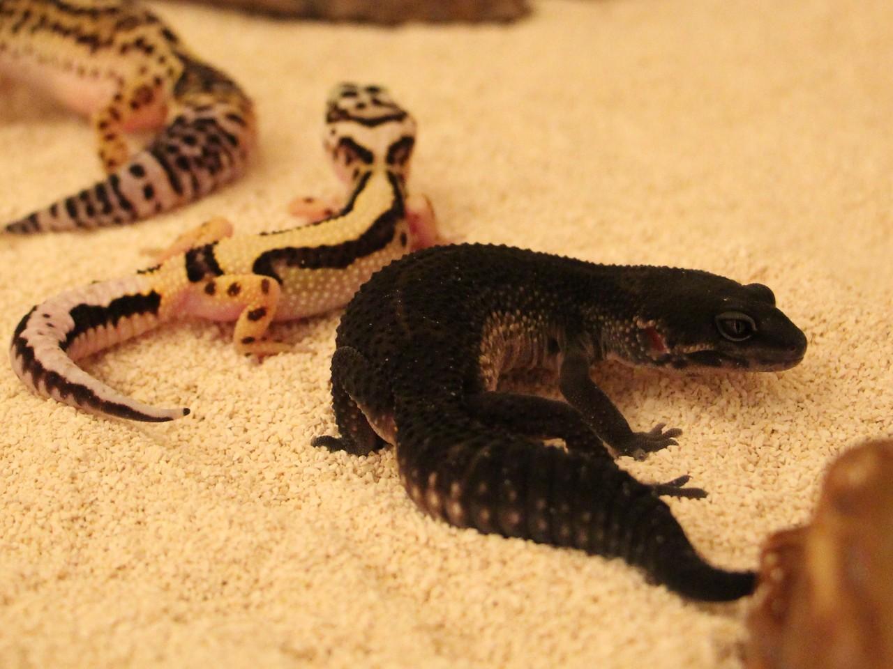 Leopard Geckos for Sale - Premium Geckos