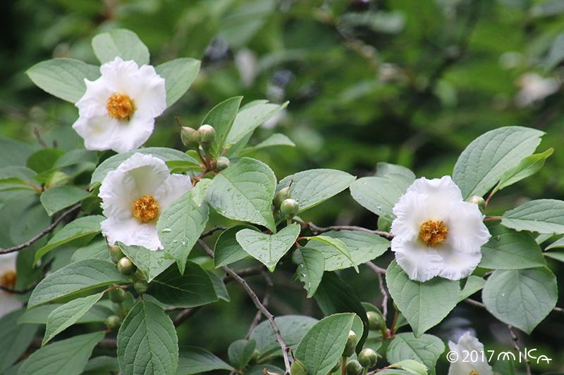 ナツツバキ三輪(沙羅の花)
