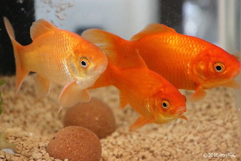 1年後の金魚(10~12センチに)