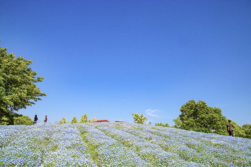 ネモフィラの丘(国営讃岐まんのう公園)