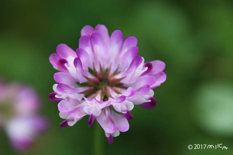 レンゲソウの花(上から)