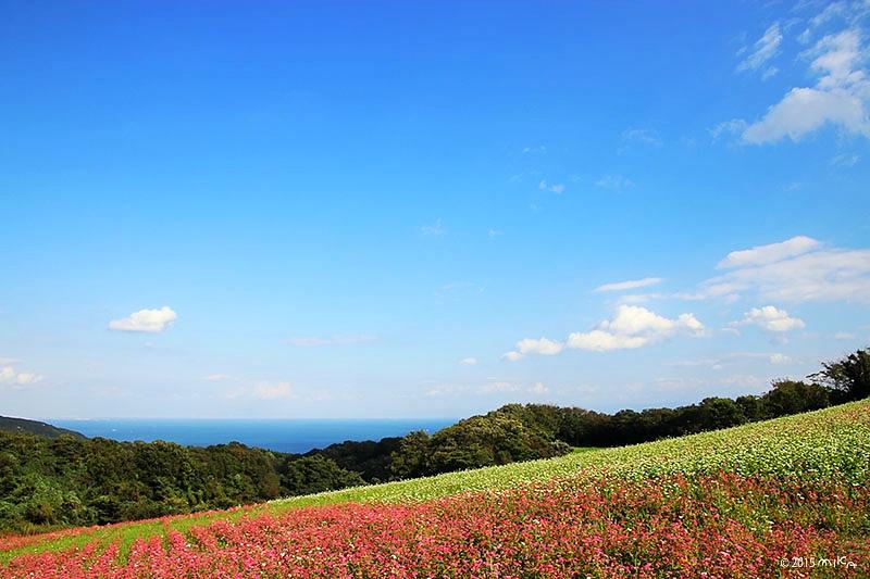 ソバの花畑(あわじ花さじき)