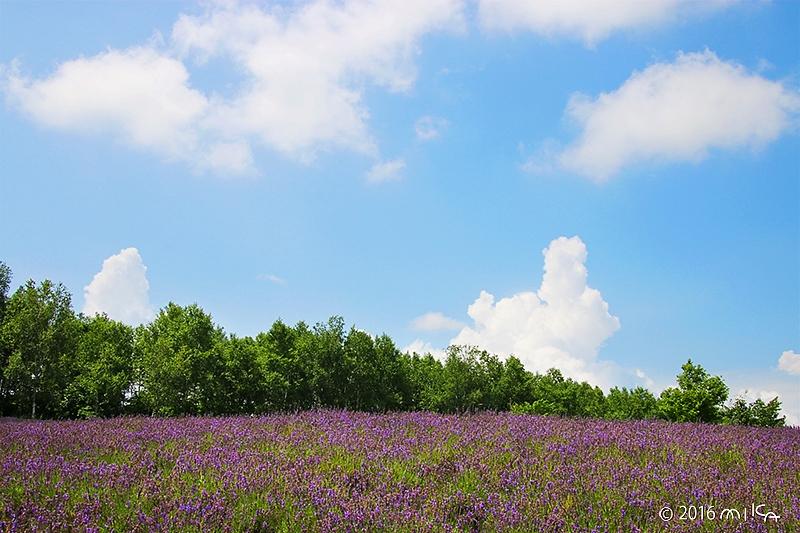 一面ラベンダー畑(四季彩の丘)
