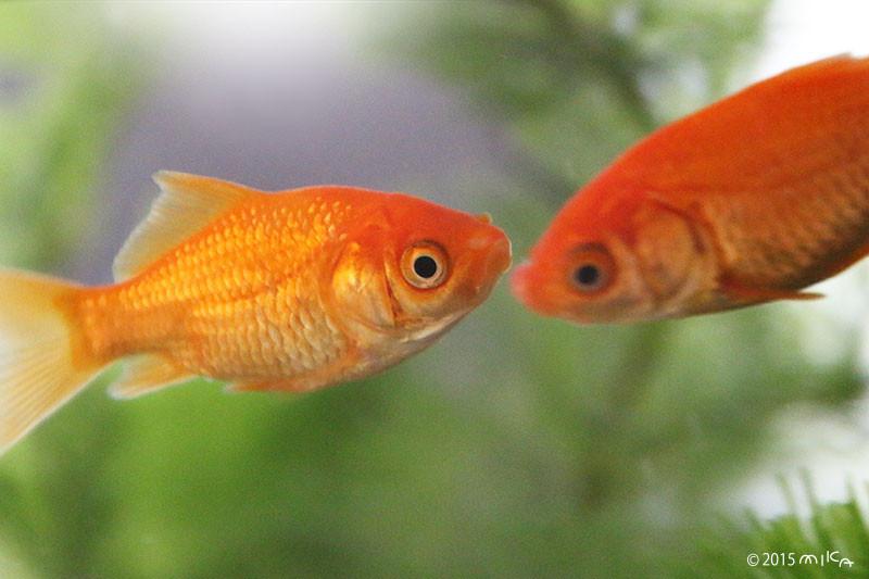 金魚すくいの金魚2cm程度