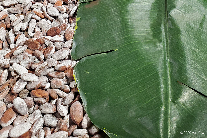 カカオ豆をバナナの葉をかぶせて発酵(明治製菓/阪急百貨店バレンタインフェア2020年より)