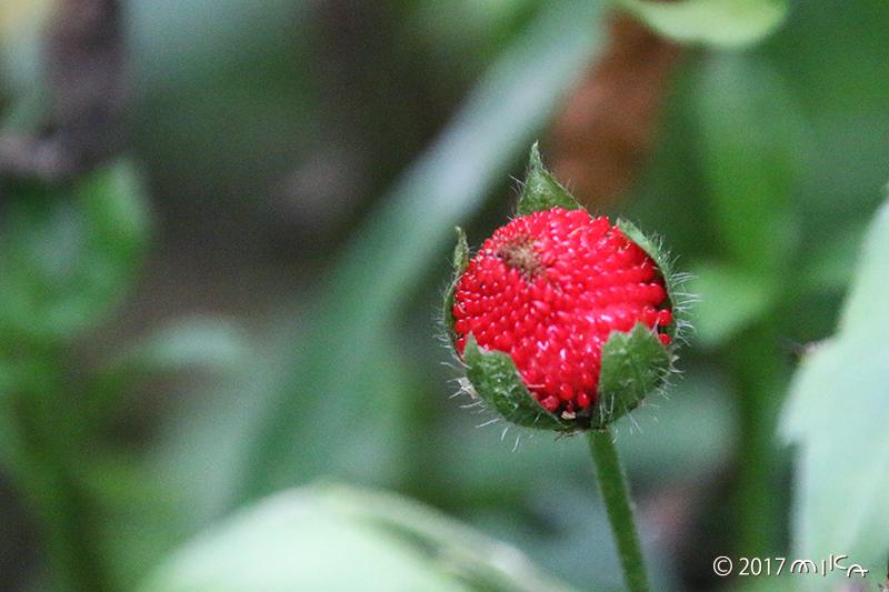 ヘビイチゴの実(実のできはじめ)