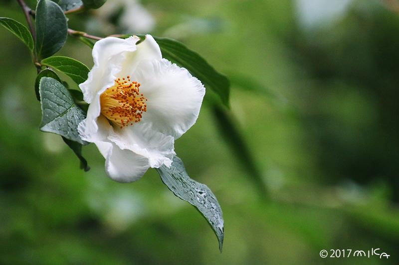 ナツツバキ(沙羅の花)