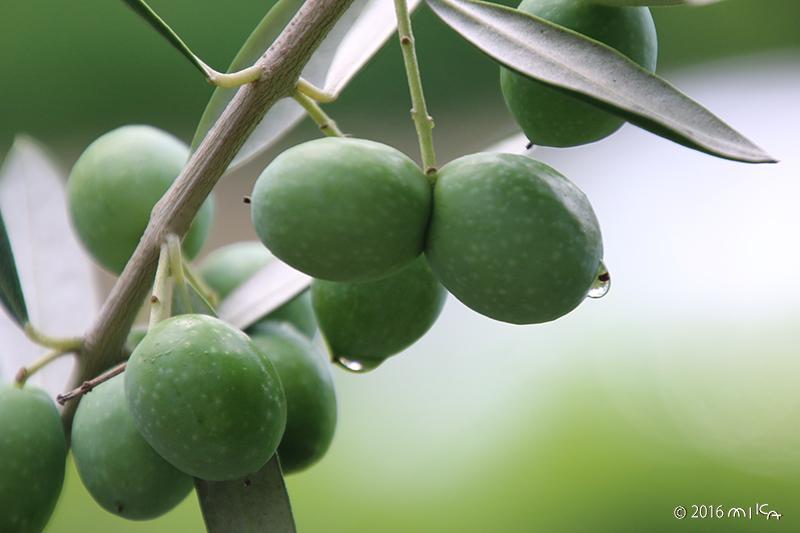ふっくら緑色のオリーブの実(9月頃)