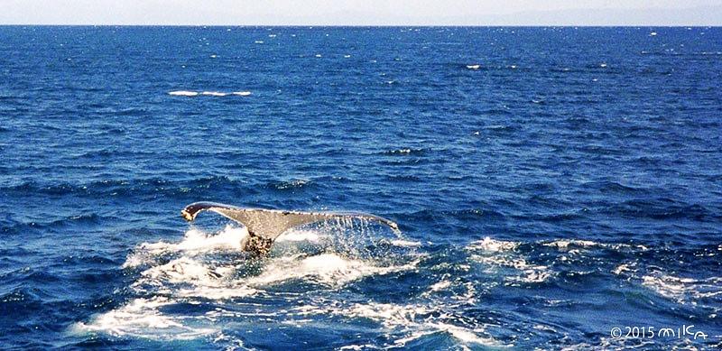 ③クジラの尾が近づいて