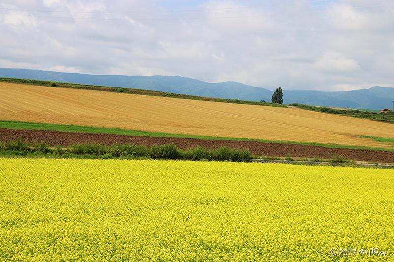 菜の花と麦畑