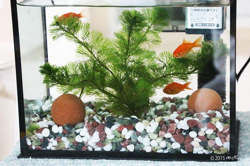 金魚を飼いはじめの水槽(横幅26cm程度)