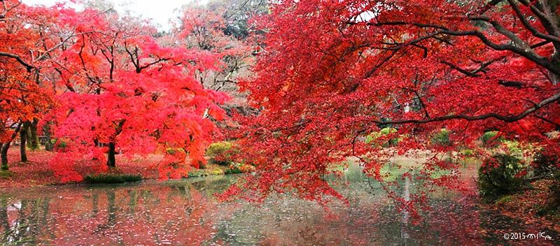 12月のもみじ池(京都府立植物園)