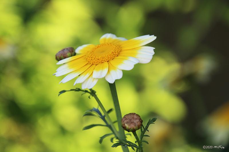 シュンギクの花(5月)