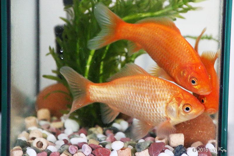 4か月後の金魚 6~8cm程度(11月)