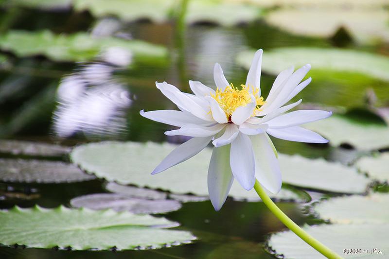 熱帯性スイレン白(京都府立植物園)